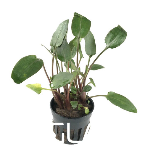 Cryptocoryne Wallisii (GLA Potted Plant)