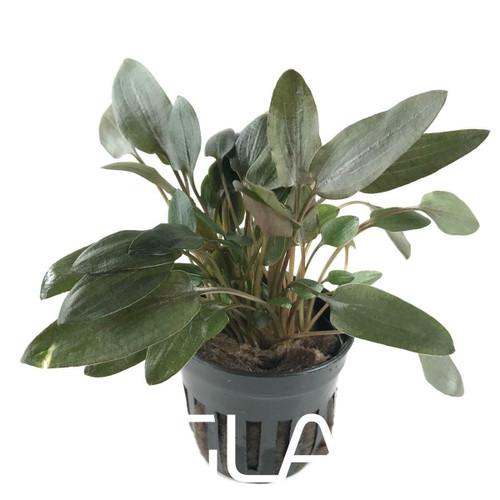 Cryptocoryne Wendtii Brown Indo (GLA Potted Plant)