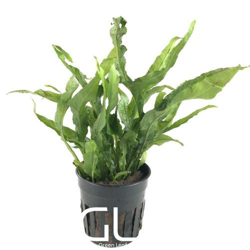 Microsorium Pteropus Petite (GLA Potted Plant)