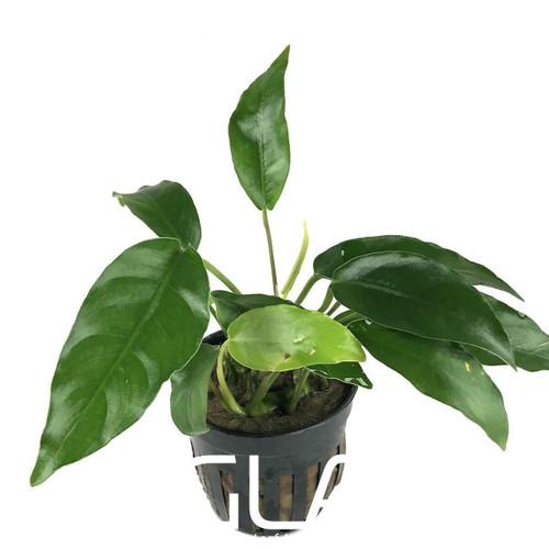 Anubias Short & Sharp (GLA Potted Plant)