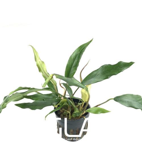 Anubias Minima (GLA Potted Plant)