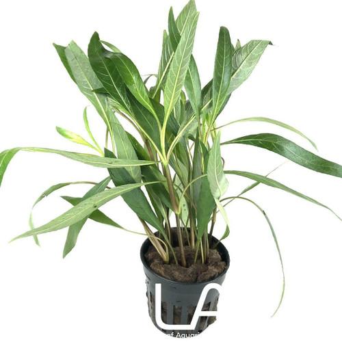 Hygrophila Lacustris (GLA Potted Plant)