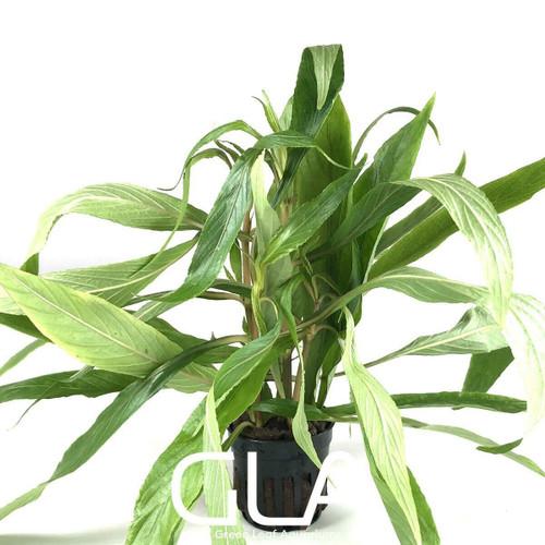 Hygrophila Salicifolia (GLA Potted Plant)