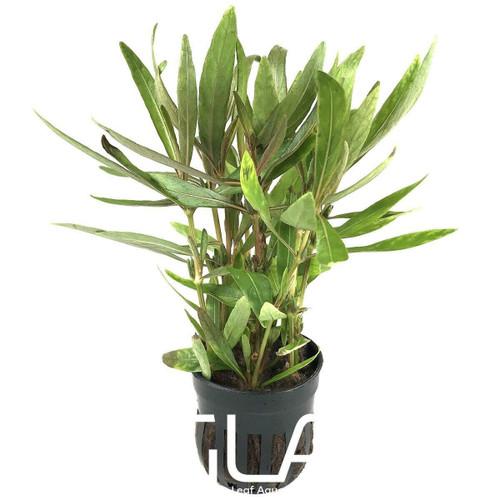Hygrophila Araguaia (GLA Potted Plant)