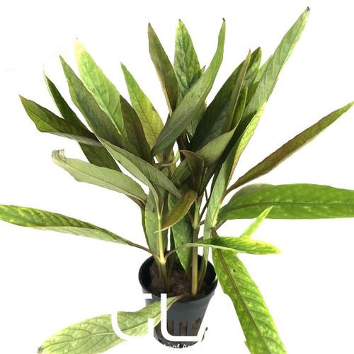Hygrophila Salicifolia Rubra (GLA Potted Plant)