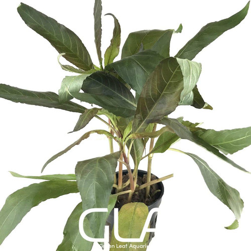 Hygrophila Angustifolia Rubra (GLA Potted Plant)