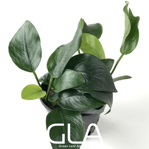 Anubias Nana Short (GLA Potted Plant)