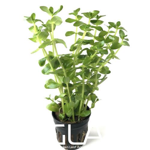 Bacopa Amplexicaulis (GLA Potted Plant)