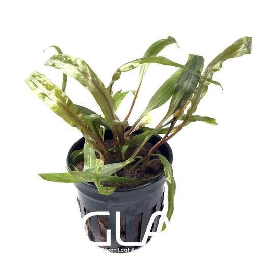 Cryptocoryne Balansae (GLA Potted Plant)