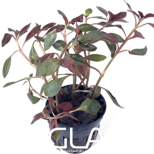 Ludwigia Glandulosa Peruensis Diamon (GLA Potted Plant)