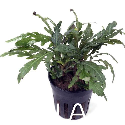 Hygrophila Pinnatifida (GLA Potted Plant)