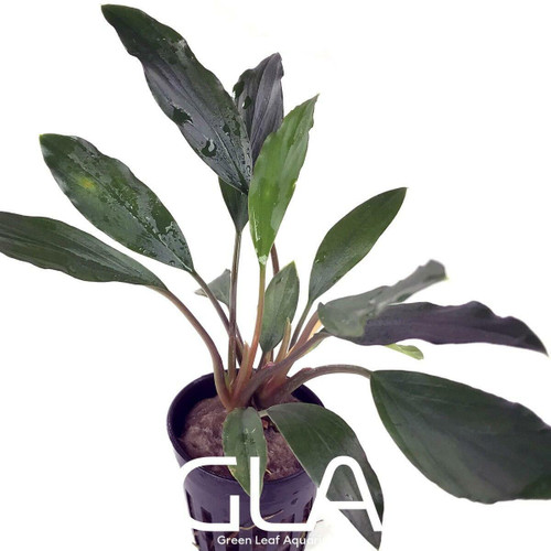 Homalomena sp Sekadau South (GLA Potted Plant)