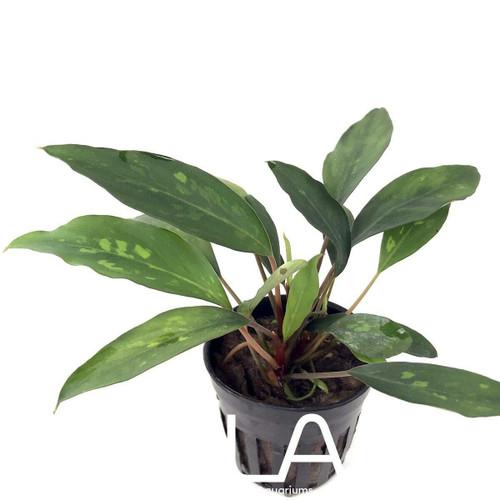 Piptospatha Ridleyi (GLA Potted Plant)