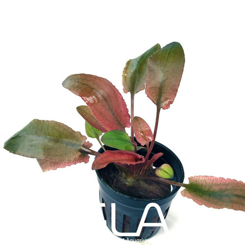 Cryptocoryne Flamingo (GLA Potted Plant)