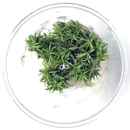 Pogostemon Erectus (GLA Tissue Culture)