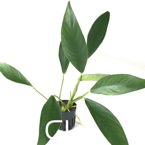 Anubias Lanceolata (GLA Potted Plant)