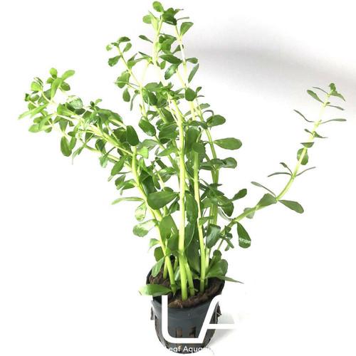 Bacopa Monniera (GLA Potted Plant)