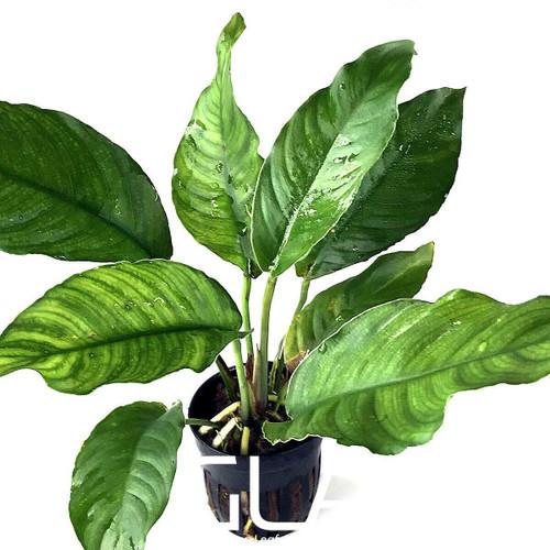 Anubias Heterophylla (GLA Potted Plant)