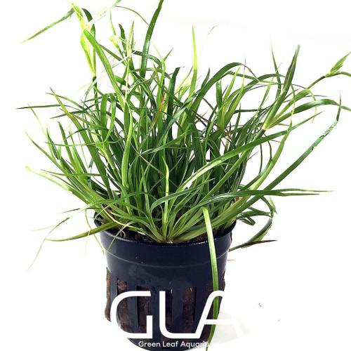 Juncus Repens (GLA Potted Plant)