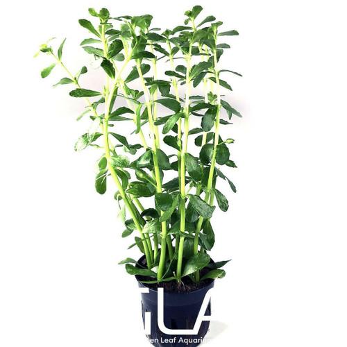 Bacopa Monniera Variegatus (GLA Potted Plant)
