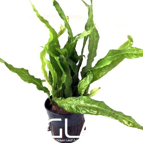 Microsorium Pteropus var Soft (GLA Potted Plant)