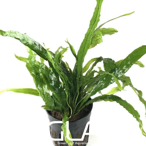 Microsorium Pteropus Narrow Mini (GLA Potted Plant)