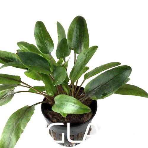Cryptocoryne Wendtii Gekco (GLA Potted Plant)