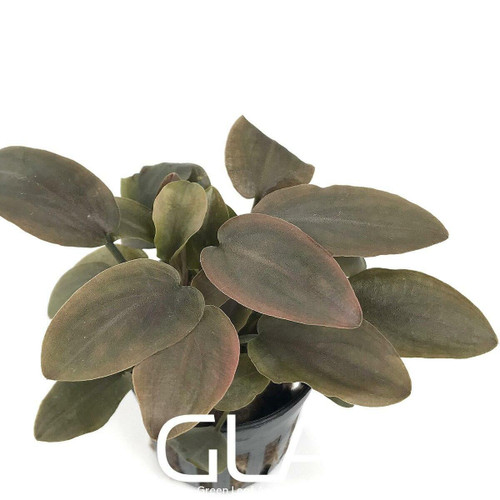 Lagenandra Meeboldii Red Round (GLA Potted Plant)