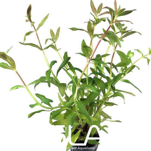 Limnophila Aromatica Hippuridoides (GLA Potted Plant)