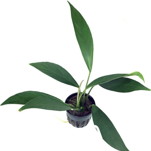 Anubias Barteri var Glabra (GLA Potted Plant)