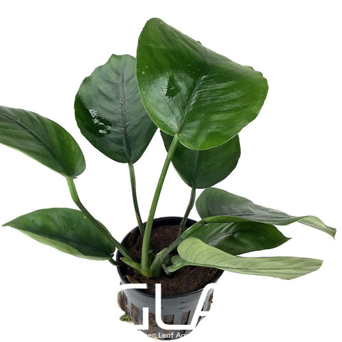 Anubias Barteri Broad Leaf (GLA Potted Plant)