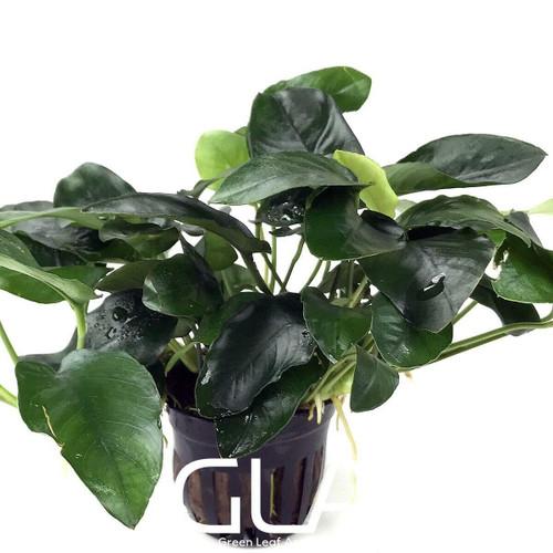 Anubias Nana Tall (GLA Potted Plant)