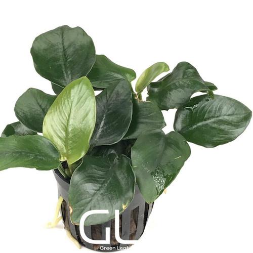 Anubias Nana Fatty Thick Leaf (GLA Potted Plant)