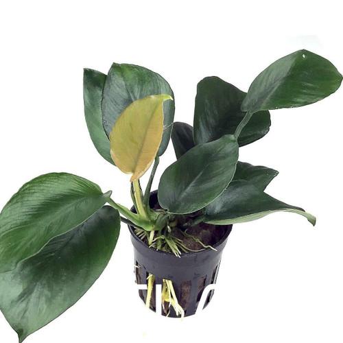 Anubias Barteri Diamond (GLA Potted Plant)