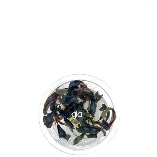 Bucephalandra Mini Black Carpet (GLA Tissue Culture) (XS)