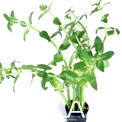 Bacopa Madagascariensis (GLA Potted Plant)