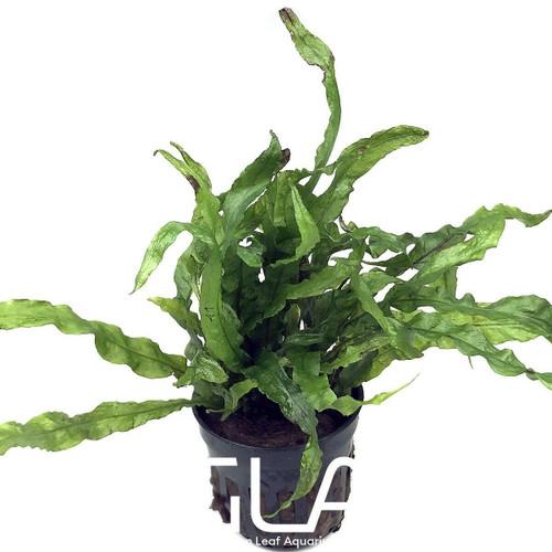 Microsorium Pteropus Narrow (GLA Potted Plant)