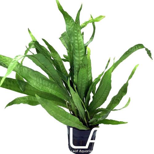 Microsorium Pteropus Philippine (GLA Potted Plant)