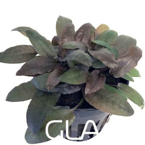 Cryptocoryne Tropica Hybrid (GLA Potted Plant)