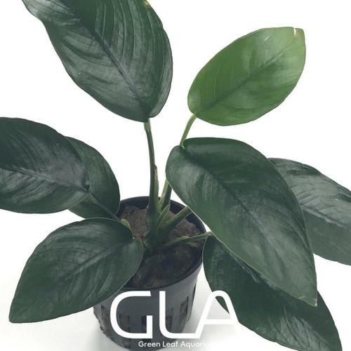 Anubias Nana Tropica (GLA Potted Plant)