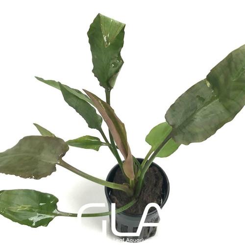 Cryptocoryne Pontederiifolia (GLA Potted Plant)