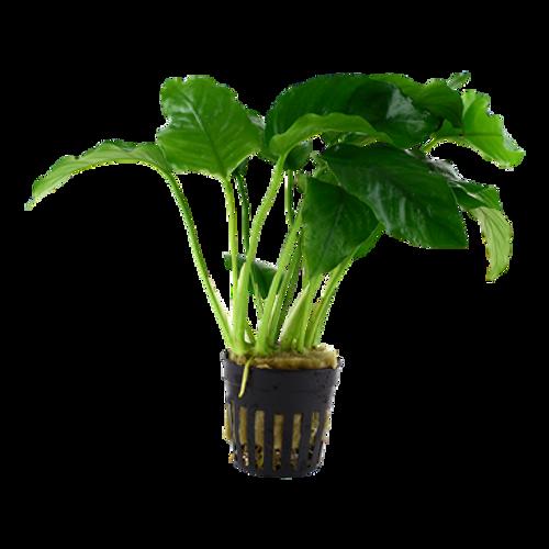 Anubias Barteri var Barteri (Tropica Potted Plant)