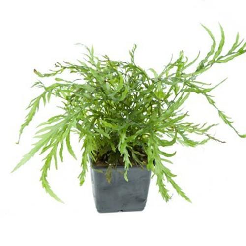 Bolbitis Heudelotii (Tropica Potted Plant)