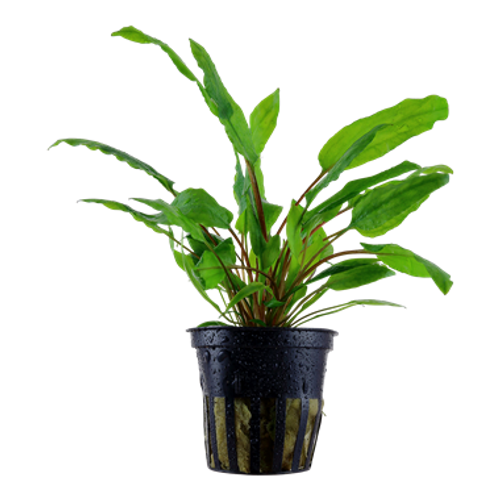 Cryptocoryne Wendtii Green (Tropica Potted Plant)