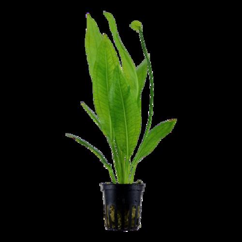 Echinodorus Grisebachii Bleherae (Tropica Potted Plant)