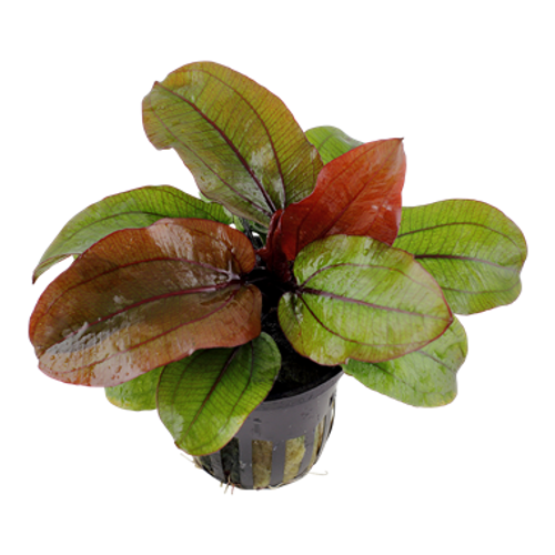 Echinodorus Reni (Tropica Potted Plant)