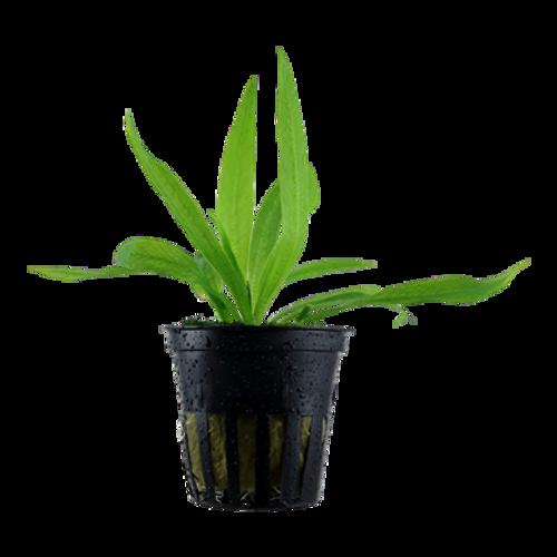 Helanthium Bolivianum Quadricostatus (Tropica Potted Plant)