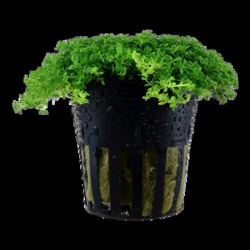 Hemianthus Callitrichoides Cuba (HC) (Tropica Potted Plant)