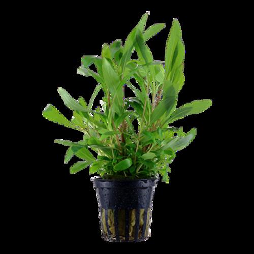 Hygrophila Corymbosa Siamensis 53B (Tropica Potted Plant)