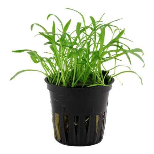 Lilaeopsis Brasiliensis (Tropica Potted Plant)